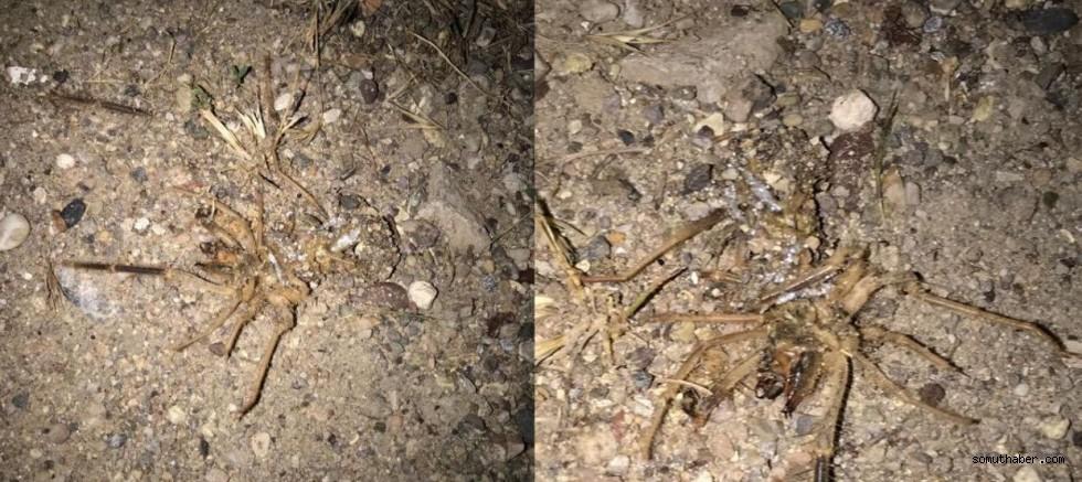 Kayseri'de 'Sarıkız Örümceği' Tedirginliği